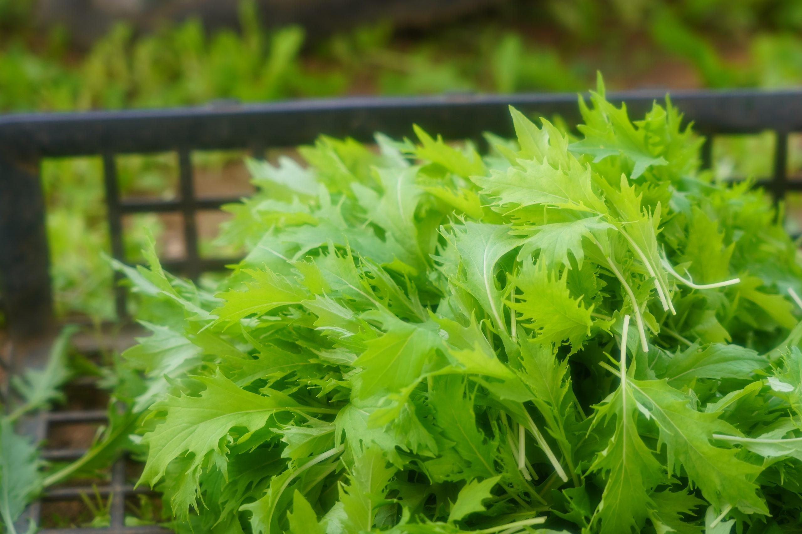 新鮮な有機野菜(オーガニック野菜)をご提供します!